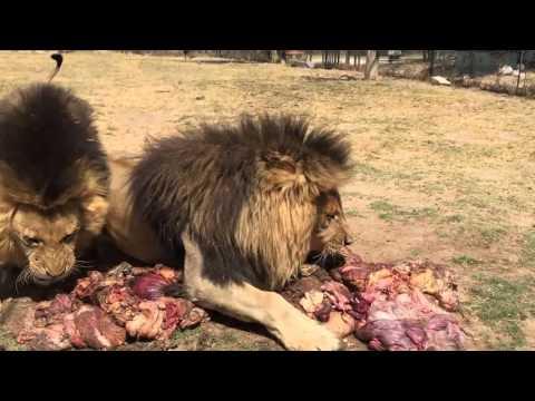 Antelope Park - Volunteer with Lions in Zimbabwe