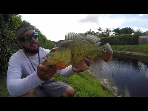 Huge Peacock Bass - Theminnowbucket.net Southern Florida Tour
