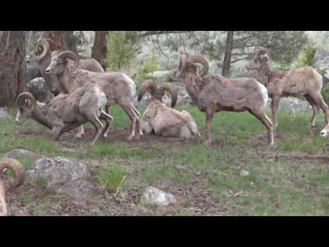 Herd of Bighorn sheep near Tower-Roosevelt at Yellowstone