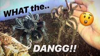 This TARANTULA changes into a whole DIFFERENT SPIDER after just ONE MOLT !!!