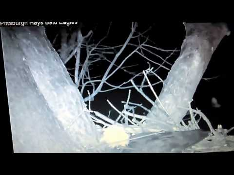 Hays bald eagle nest tree falls