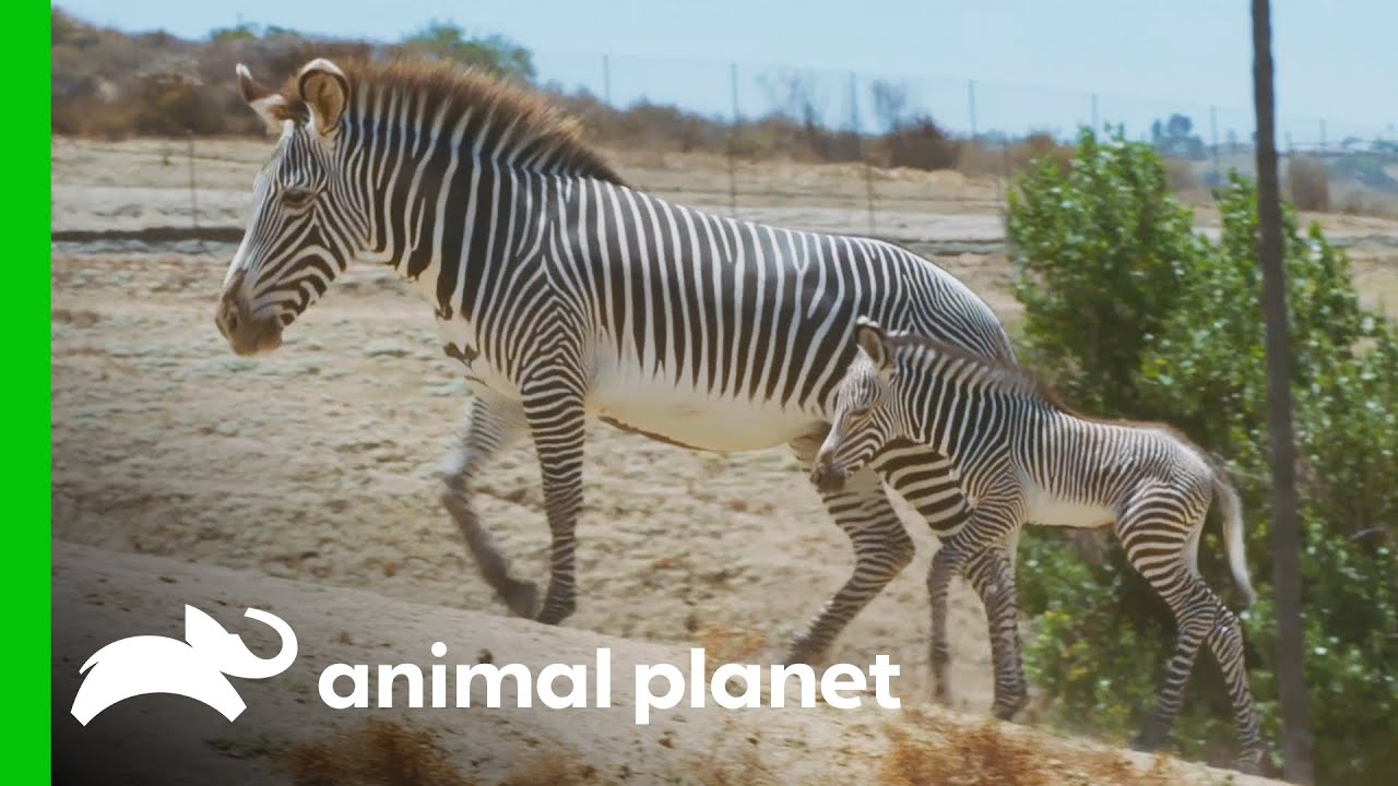 Helping Preserve the Grevy's Zebra Population | The Zoo: San Diego