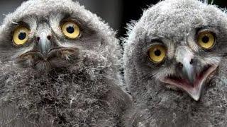 ПТЕНЦЫ СОЛОВЬЯ!The Chicks of Nightingale!🔴
