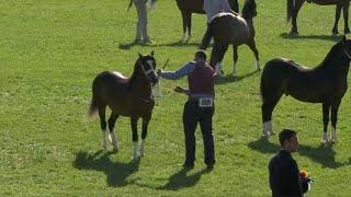 Merlod Cymreig Teip Cob Ebol | Welsh Ponies Cob Type Foal