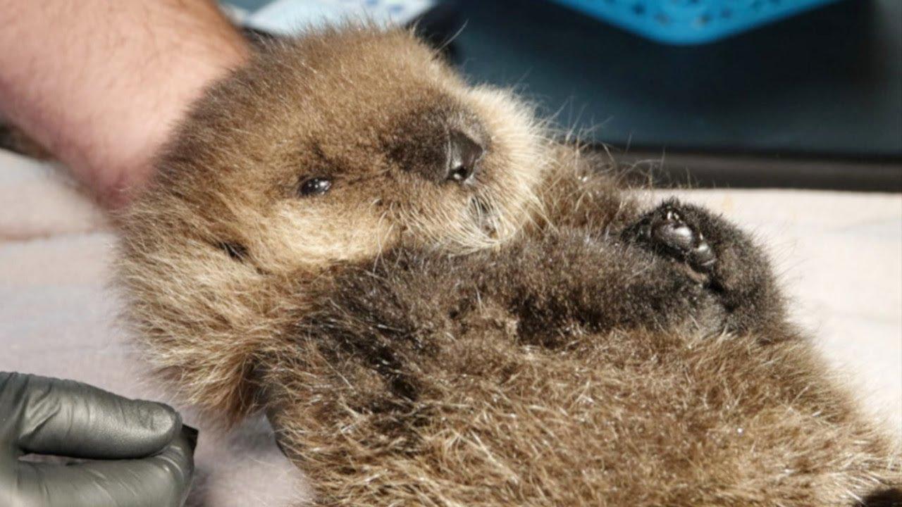 生後10日ほどのラッコがひとりぼっちで鳴いていました。母親とはぐれて衰弱したラッコを保護すると…【動物 感動】