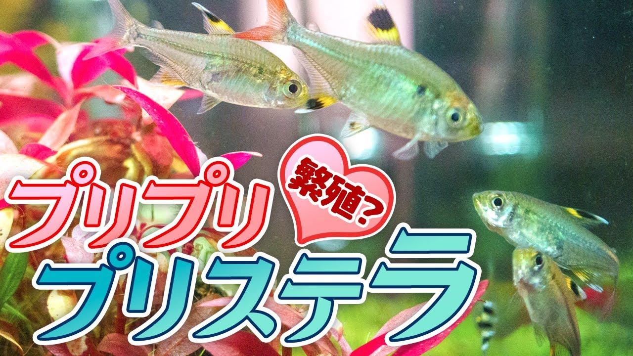 プリッとプリステラ小型美魚の繁殖行動?深窓の令嬢プリステラが暴れる日 #アクアリウム