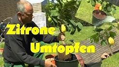 Zitronenbaum umpflanzen, einpflanzen