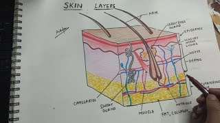 how to draw integumentary system/ skin layers