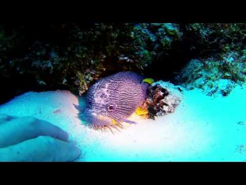 Splendid Toadfish Bite