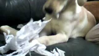 ラブラドール4か月目 破壊犬