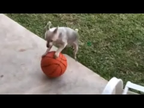 Hilarious little doggy trying out for the circus
