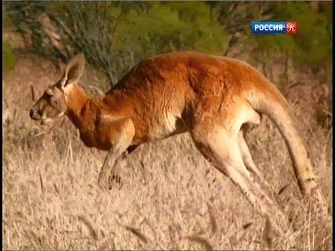 Король кенгуру. Большой рыжий кенгуру. - YouTube b77bd9a215eb2