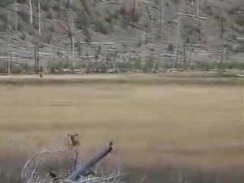 Yellowstone Elk Herd and Bull Elk