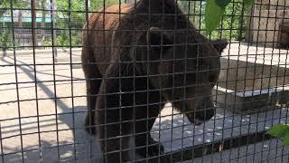 Медведь Юра лучший папа Тайгана!