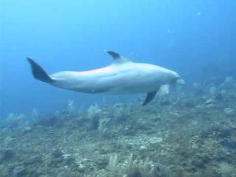 Dolphins - Belize