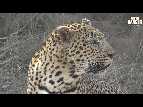 Male Leopard Follows Female And Gets A Slap!