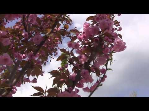 Керчь.Цветёт сакура. Необыкновенная-Двухцветная сакура !
