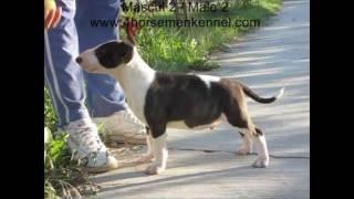 Pui Bullterrier De Vanzare - Bull Terrier Puppies For Sale (10 Saptamani / 10 Weeks Old)