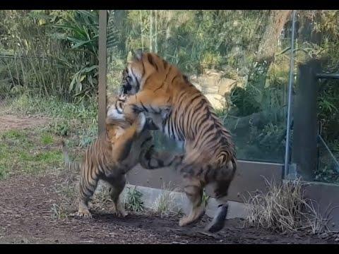 Sumatran Tigers - San Diego Safari Park