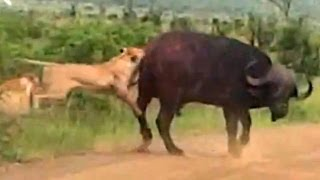 Lion Versus a Big Buffalo Bull - Latest Wildlife Sightings