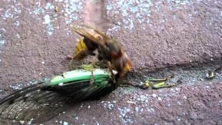 Cicada wasp vs. Cicada part 3