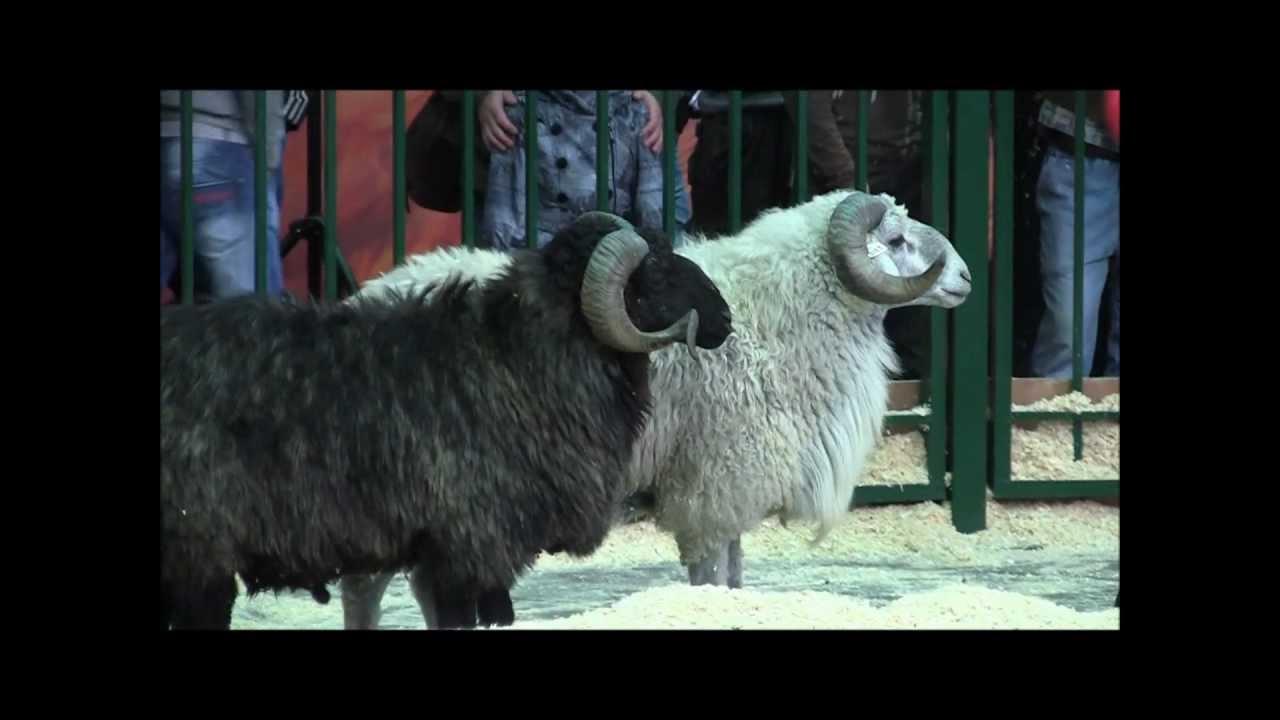 Как сделать яйцо овцы фото 370