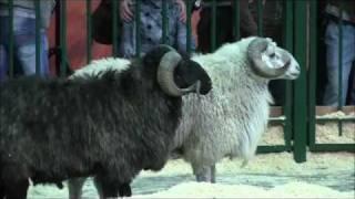 Овцы Выставка Золотая осень-2011