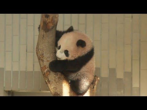 パンダのシャンシャン、報道陣に公開 上野動物園