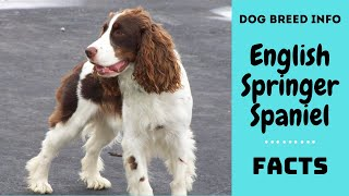 English Springer Spaniel dog breed. All breed characteristics and facts about Springer Spaniel