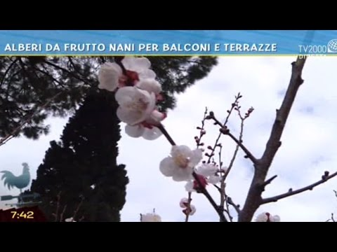 alberi da frutto nani per balconi e terrazze youtube