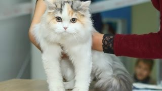 Шотландская Кошечка, Скоттиш Страйт Длинношерстный, Породы Кошек