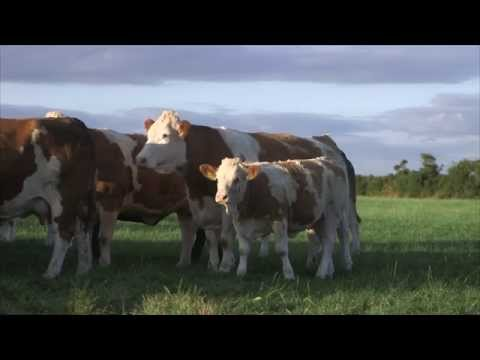 Irish Simmental: The Complete Beef Breed