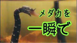 ミズヘビがメダカを襲う瞬間|Erpeton tentaculatum attacks killifish!!