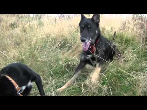 BC X Kelpie and BC X GSD playing