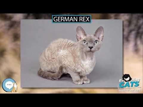 German Rex 🐱🦁🐯 EVERYTHING CATS 🐯🦁🐱
