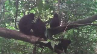 Repeat youtube video Mammals of the World: Celebes Crested Macaque
