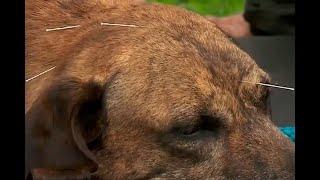 Acupuntura, una alternativa para sanar a las mascotas | Noticias Caracol