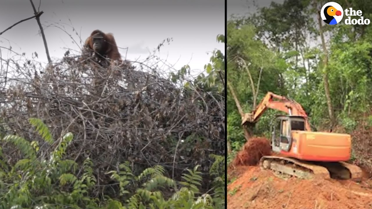 Animals' Homes Destroyed by Palm Oil   The Dodo