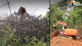 Animals' Homes Destroyed by Palm Oil | The Dodo