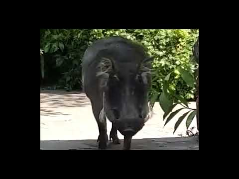 WATCH-Warthog-attacking-man-who-tried-to-pat-it.