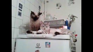 Сил-тэбби пойнт (seal-tabby point) - Тайские кошки
