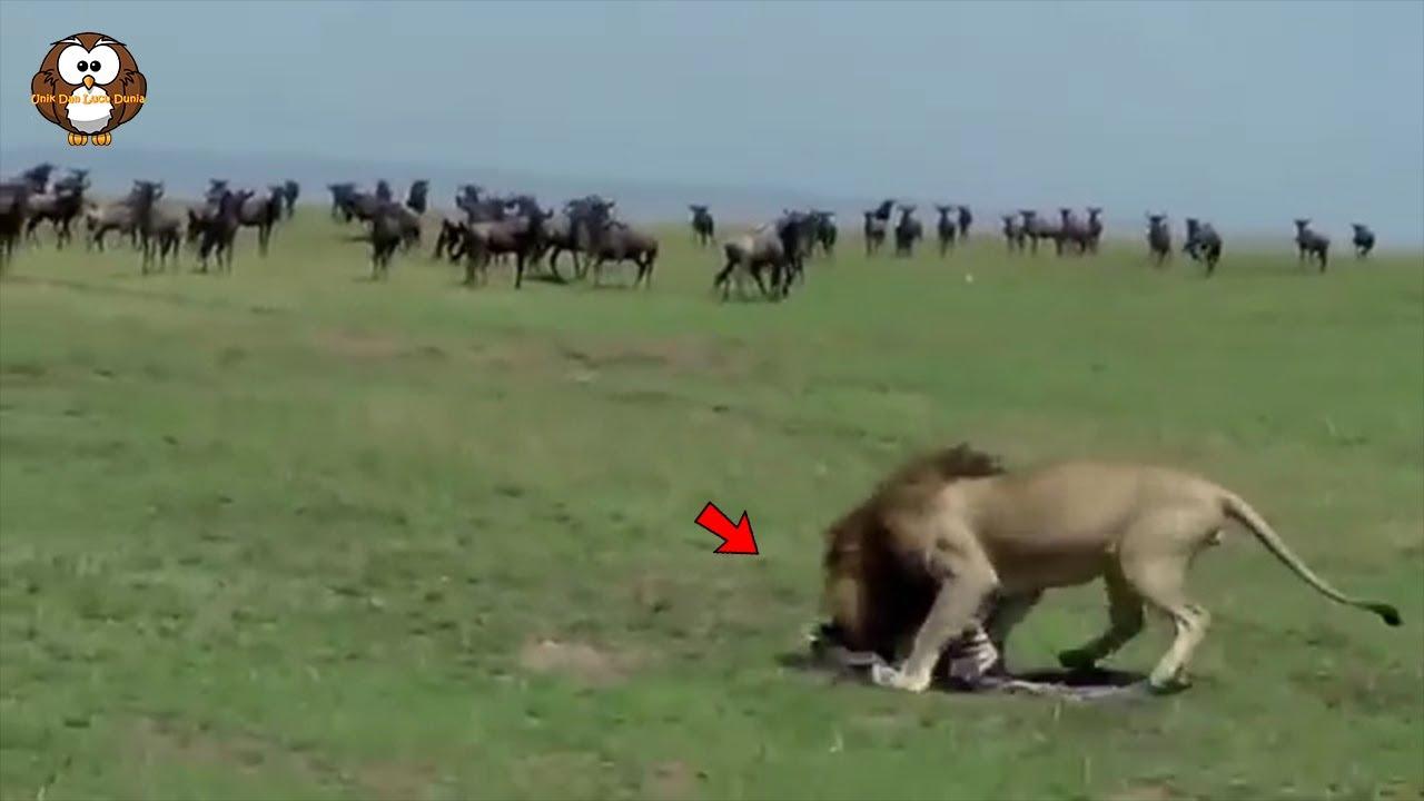 Ratusan Zebra Ini Mendadak Bingung, Saat Lihat Anaknya di Habisi Singa Dengan Mudah!!