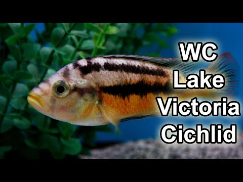 African cichlids | Lake Malawi + Lake Victoria Wildcaught (For real!)