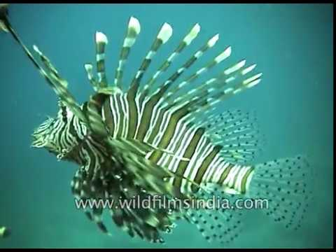 Black And White Stripped Lion Fish