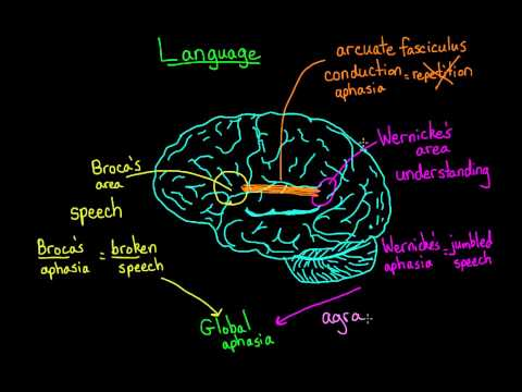 Language and the brain: Aphasia and split-brain patients