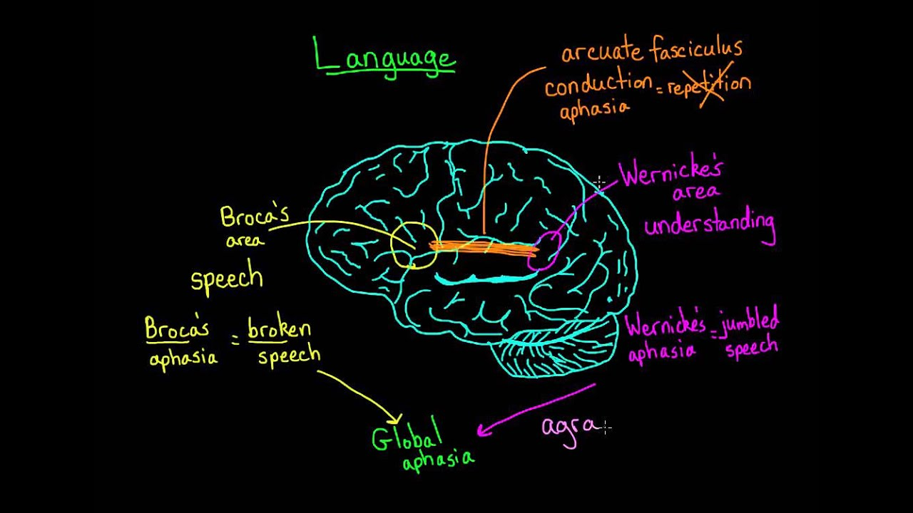 cognitive effects of early bilingualism Promoting and maintaining bilingualism and biliteracy: one language is apparent in recent research on the effects of bilingualism in the brain, especially for children children demonstrate some advantages in early literacy skills in both languages.