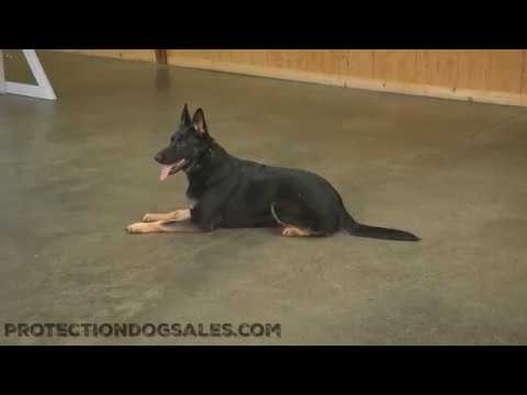 """WOW  Look At This Beauty """"Ivy"""" 19 Mo's German Shepherd Obedience/Protection Trained Dog For Sale"""