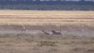 Cheetah vs a gazelle with a headstart  (incredible speed)