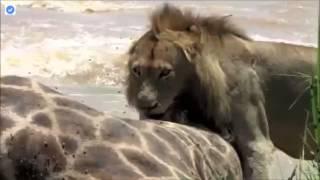 ライオンズのスパルタの誇りは死んでキリンに飢えてワニとの競争の中で...