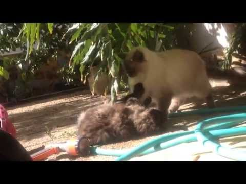 Pelea De Gato Y Gata (gato Pesado) / Cat's Fight (annoying Cat) / Catfight (chat Fatigant)